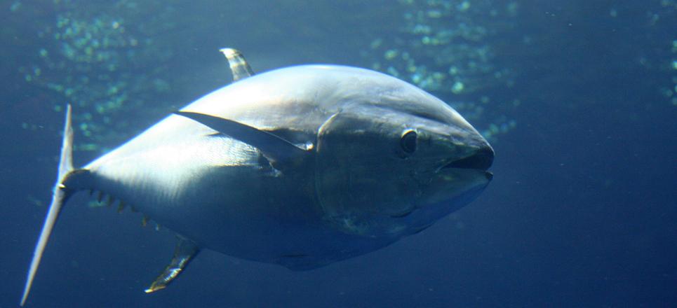 Atún de Sinaloa